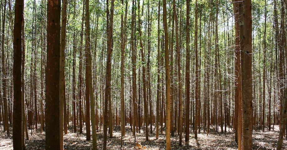 Eukalyptusskog.