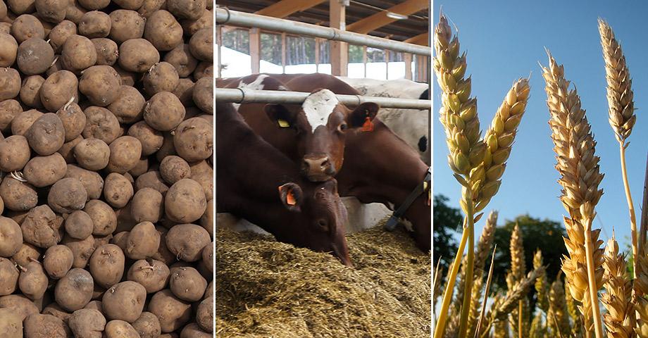 En tredelad bild med jordiga potatisar, tre mjölkkor där en med bred vit fläck i pannan tittar rakt in i kameran, och närbild på vete på en åker