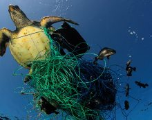 En sköldpadda som försöker simma intrasslad i ett fiskenät