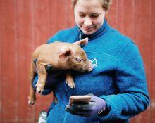 Person håller i gris och tittar på smartphone.
